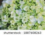 Green Hydrangea  Hydrangea...