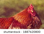 Red Rooster In A Garden Against ...
