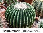 Large Echinocactus Gruson ...