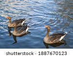 Three greylag geese in kelsey...