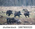 Group Of Young Wild Boars  Sus...