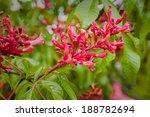 Flowering Bush Of Red Chestnut...