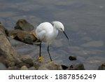 A Snowy Egret Watching A...