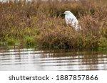 Snowy Egret In A Wetland