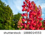 Red Lupinus Polyphyllus Is...