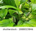 Piper Sarmentosum  Is A Plant...