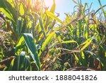 Ripe Stems Of A Corn Plant In A ...
