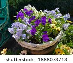 Lovely pansy  flower on the pot