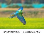 Blue And Gold Macaw Flying ...