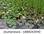 Nymphaea. Water Lilies And...