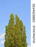 Lombardy Poplar Treetop Against ...