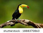 Keel billed toucan  ramphastos...