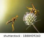 Wasps fly around the flower....