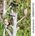 A Male And Female Sparrow...