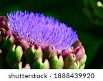 Close Up Of A  Cardoon  Cynara...