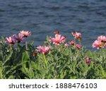 Beautiful Pink Flowers Arktotis ...