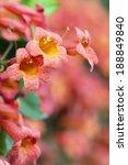 pink trumpet vine flowers... | Shutterstock . vector #188849840