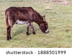 Donkey Grazing In A Green Grass ...