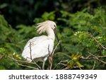 An Eurasian Spoonbill Sitting...