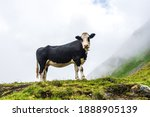 The Black And White Alpine Cow...