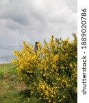 A Yellow Flowering Broom Bush...
