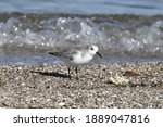 Sanderling  Nonbreeding  With...