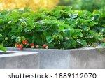 Ripe garden strawberries grow...