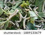 Deatil Of Silkworms Eating...