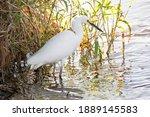 Snowy Egret Tropical Bird Of...