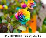Macro Of Rainbow Roses With...