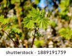 Spring Young Maple Leaves That...