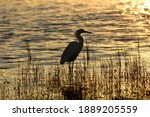 Snowy Egret Silhouetted At...