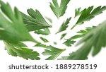 green parsley leaves levitate...   Shutterstock . vector #1889278519