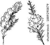 Furze Plant Ink Illustration....