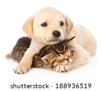 Stock photo golden retriever puppy dog hugging sleeping british cat isolated on white background 188936519