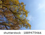 Sky And Branches Of Mulberry In ...
