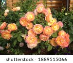 One Of The Most Variable Roses  ...