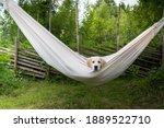 Golden Retriever Dog Rest In...