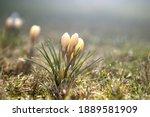 crocuses yellow grow in the... | Shutterstock . vector #1889581909