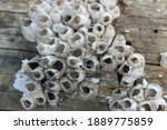 Small photo of A cluster of dead barnacles on a wooden dock pylon. The pattern in the barnacle formation could trigger Trypophobia, which is the phobia of small hole patterns or clusters.