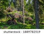 Uprooted Pine Trees In The...
