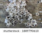 Small photo of Marine sea barnacles sun bleached and dead clustered on the side of a wooden pylon at a marina. The tiny circle pattern of the barnacle cluster could trigger the phobia Trypophobia.