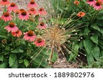 Coral colored Echinacea flowers and buds behind a Giant Allium gone to seed in a garden in Janesville, Wisconsin, USA