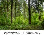 Mixed Forest With Norway...
