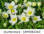 Bright  White Flowers Anemone...