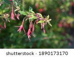 Hardy Fuchsia   Latin Name  ...