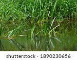 Tall Green Grass At The River...