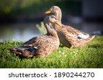 Two Wild Ducks Quacks On Green...