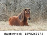 A Young Wild Horse Resting In...