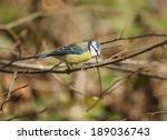 The Eurasian Blue Tit   Parus...